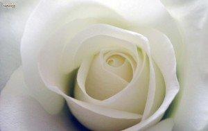 coeur-rose-fleur-blanche-574x3631-300x189