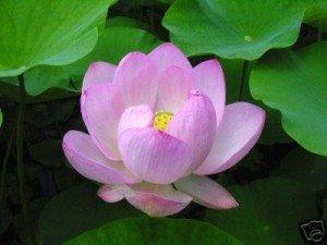 la-fleur-de-lotus1-300x225
