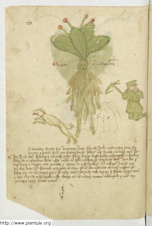 mandragore_italie_herbarium_15e_b1